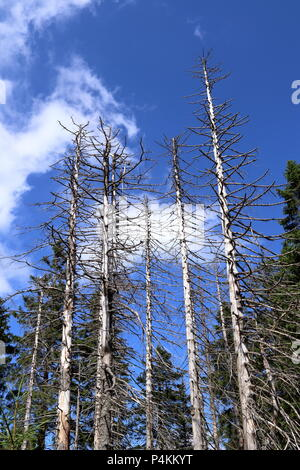 Tree mortality. Spruce trees in a forest in Germany, damaged by bark beetles. - Stock Photo