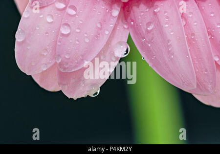 Water droplets on the petals of a pink Gerbera flower - Stock Photo