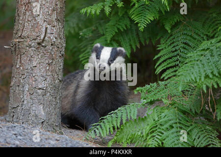 Adult Badger in bracken in the Forest of Dean - Stock Photo