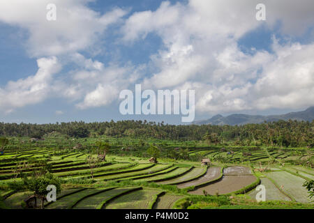 Rice field in early stage at Bali, Indonesia. Coconut tree and hut at background - Stock Photo