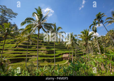 Rice terraces in Tegallalang. Ubud, Bali, Indonesia - Stock Photo