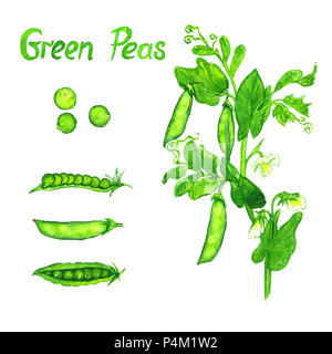 Green peas branch with flowers, leaves and pods, the pods open and close, isolated hand painted watercolor illustration - Stock Photo