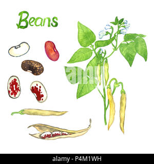 Beans branch with flowers, leaves and pods, the pods open and close, isolated hand painted watercolor illustration - Stock Photo