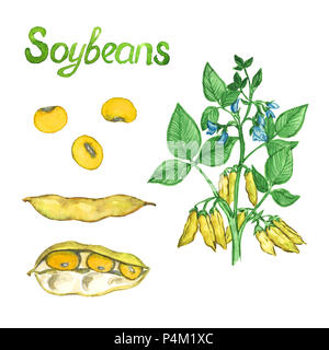 Soybeans branch with flowers, leaves and pods, the pods open and close, isolated hand painted watercolor illustration - Stock Photo