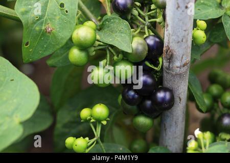 garden huckleberry, Solanum melanocerasum Stock Photo: 209423646 - Alamy
