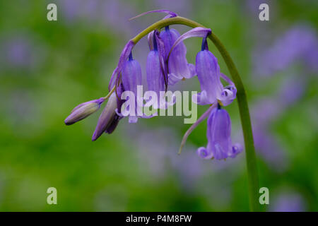 Common bluebells (Hyacinthoides non-scripta), Bluebells, Cornwall, England, Great Britain - Stock Photo