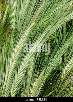 Closeup of wild grass with dew drops. - Stock Photo