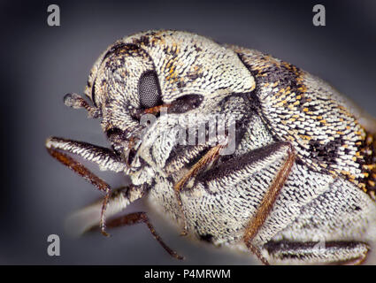 Varied carpet beetle (Anthrenus verbasci) macro portrait - Stock Photo