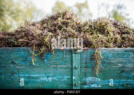 Grape stems after destemming in a wooden wagon - Stock Photo