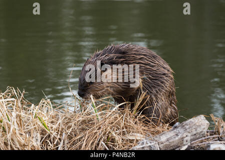 A juvenile beaver climbing on to the grassy bank of its beaver dam - Stock Photo
