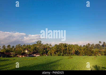Terrace Rice Fields in Bali, indonesia - Stock Photo