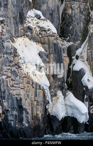 Norway, Svalbard, Nordaustlandet, Hinlopenstrete. Brunnich's guillemots (Uria lomvia) nesting site at Alkefjellet. Detail of nesting cliffs. - Stock Photo