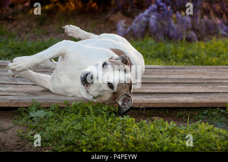A silly old pit bull dog is laying on her side on a wood deck.  There are weeds and various grasses growing around her and purple wisteria vines - Stock Photo