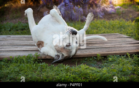 Silly old pitbull dog lays on back with feet up in the air.  She is surrounded by weeds and green grasses.  Her eyes are open and mouth is closed. - Stock Photo