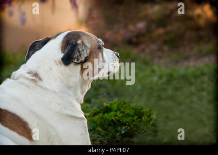 An elderly pit bull is sitting on the grass with a profile looking to her right. Her floppy ears are tucked back. She is outdoors in a yard. - Stock Photo