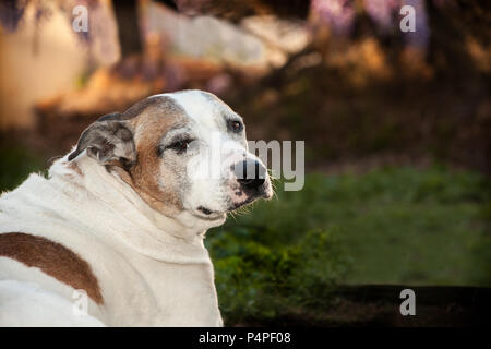An elderly white and tan pitbull is sitting on the grass with a profile looking back to camera. Her floppy ears are tucked back. She is outdoors. - Stock Photo