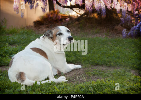 An elderly pitbull is laying on the grass with a whole body profile looking back to camera. Her floppy ears are tucked back. She is very relaxed. - Stock Photo