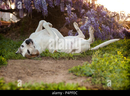 Elderly pit bull dog lays on back with feet in the air. She looks very relaxed and carefree. She appears to be meditating or wanting a bellly rub. - Stock Photo