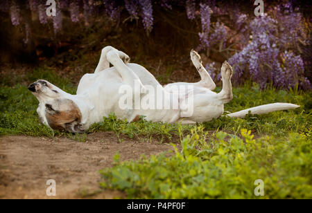 Elderly pitbull dog lays on back with feet and nose in the air. She is laying on a combination of dirt, weeds and grass. she looks very carefree - Stock Photo