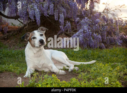 senior white pitbull dog otherwise known as an American Staffordshire Terrier lays on the ground.  She is posing in a very regal way.  There are beaut - Stock Photo