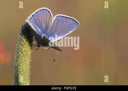 Common Blue (Polyommatus icarus) at Kaisa Mossa, Öland, Sweden - Stock Photo