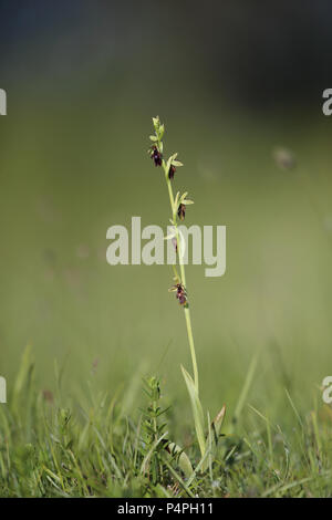 Blooming Fly orchid (Ophrys insectifera) at Knisa Mossa, Öland, Sweden - Stock Photo