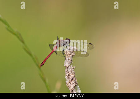 A male Ruddy Darter Dragonfly (Sympetrum sanguineum) resting in the sun at the Hickling Broad Norfolk Wildlife Trust reserve, UK. - Stock Photo