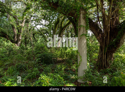Forest of live oak trees (Quercus virginiana) covered in resurrection fern (Pleopeltis polypodioides) with old stone column, pillar - Long Key Natural - Stock Photo