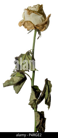 Withered white rose. Dried flower and leaves. Sadness, emotions. Close-up. Isolated on white. - Stock Photo