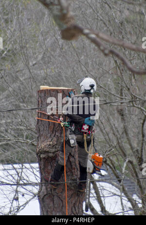 A fully roped in arborist wearing protective gear with helmet, first aid kit and protective clothing, uses a crane as he takes down a tree - Stock Photo