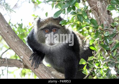Blue, or samango, monkey (Cercopithecus mitis) in a tree. This monkey lives in troops, deferring to a dominant male (seen here). This primate is quiet and shy, living in the treetops of tropical African forests. It feeds on fruit, leaves and arthropods. Photographed in Tanzania. - Stock Photo
