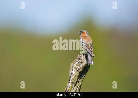 Closeup of a male chaffinch bird, Fringilla coelebs, perched on a tree trunk in a forest. Selective focus is used. - Stock Photo