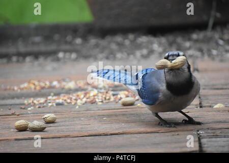 Blue jay grabs a peanut at a backyard bird feeder looking at you - Stock Photo