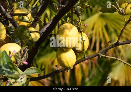 Lemon tree with fruits in Italy, yellow, lemon juice, vitamins, healthy food, fat burning, essential oil, cosmetics, poultry, Mafia, health booster - Stock Photo