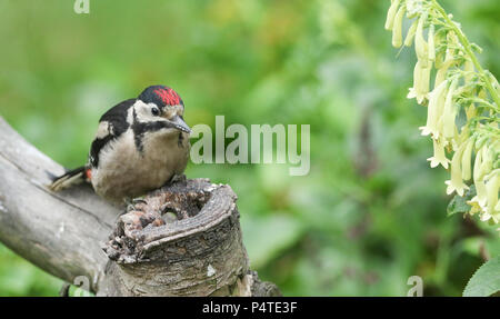 A juvenile Great spotted Woodpecker (Dendrocopos major) perching and feeding from a tree stump. - Stock Photo