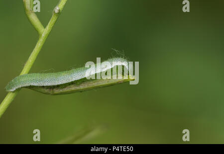 A pretty Orange-tip Butterfly Caterpillar (Anthocharis cardamines) feeding on a Garlic Mustard plant. - Stock Photo
