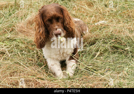 An adorable but very naughty English Springer Spaniel Dog tearing his ball to pieces. - Stock Photo