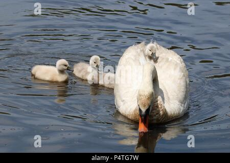 A tired cygnet takes a ride on a mother mute swan's back. - Stock Photo