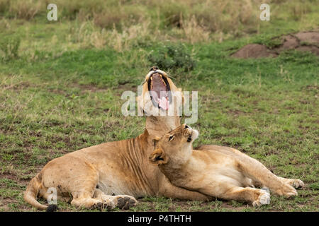 Two African Lions (Panthera leo) yawning, greeting and showing affection in Serengeti National Park, Tanzania - Stock Photo