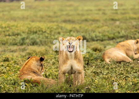 African Lion (Panthera leo) female yawning in Serengeti National Park, Tanzania - Stock Photo