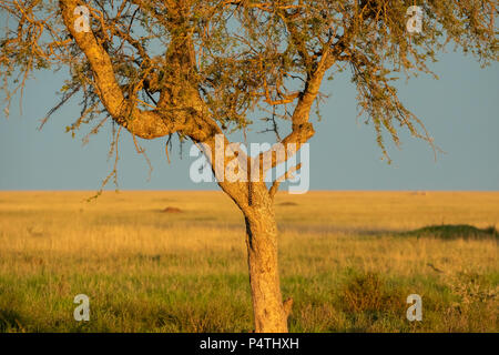 Leopard (Panthera pardus) female and cub in a tree at sunset in Serengeti National Park, Tanzania - Stock Photo