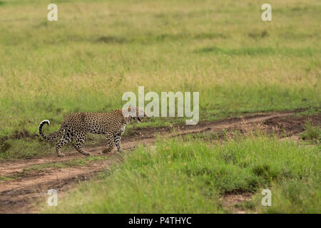 Leopard (Panthera pardus) female walking across the tall grass plains to reunite with her cub in Serengeti National Park, Tanzania - Stock Photo