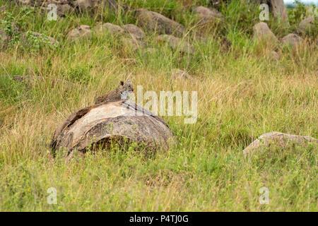 Leopard (Panthera pardus) cub on a rock in kopjes in Serengeti National Park, Tanzania - Stock Photo