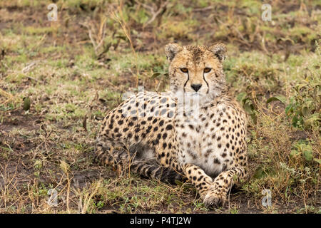 Cheetah (Acinonyx jubatus) female resting on the savannah in Serengeti National Park, Tanzania - Stock Photo