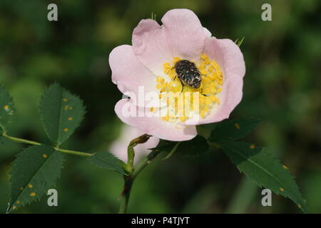Rosa canina (Dog Rose / Hunds-Rose, Hundsrose, Heckenrose) & Tropinota hirta (Rose Beetle / Zottiger Rosenkäfer) - Stock Photo