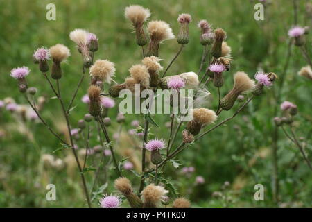 Cirsium arvense / Creeping Thistle / Acker-Kratzdistel, Ackerdistel - Stock Photo