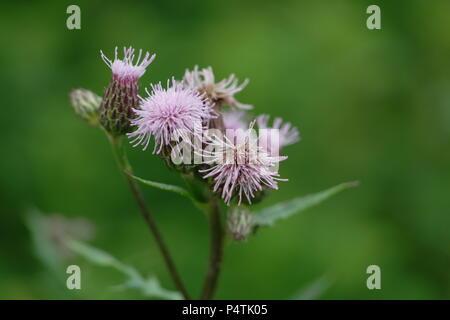 Cirsium arvense / Creeping Thistle / Acker-Kratzdistel, Ackerdistel - Stock Photo