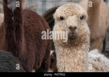 White alpaca looking directly at the camera in a holding pen on a farm in Southern Oregon - Stock Photo