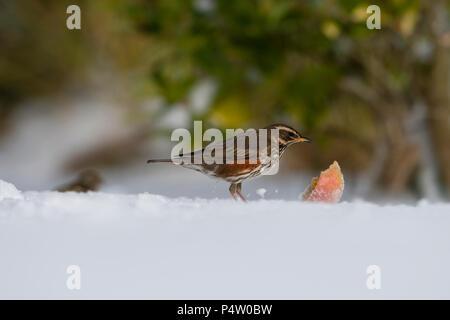 A Redwing (Turdus iliacus) feeding on apple in garden in heavy snow, Kildary, Invergordon, Scotland, UK - Stock Photo