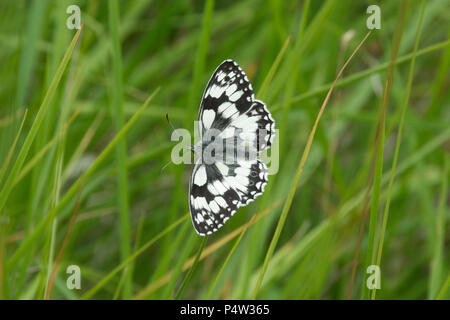 Marbled white butterfly (Melanargia galathea) with open wings on chalk grassland in Surrey, UK - Stock Photo